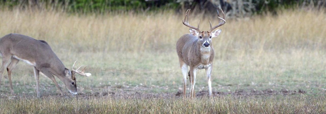 Texas Whitetail Deer Hunts in Hill Country at Rancho Madrono