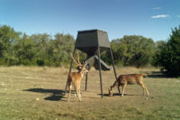 Axis Deer on Trail Cam in Texas -Axis Deer Hunts in Texas Hill Country