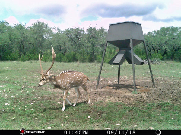 Axis Buck Hunts Near San Antonio Texas