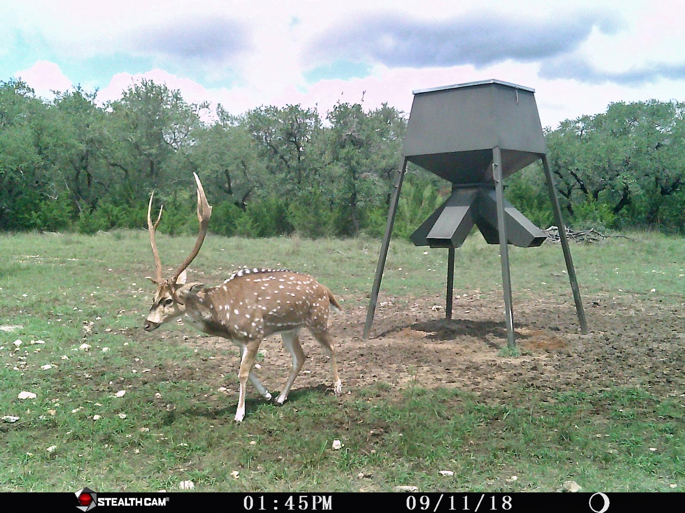 Axis Buck Hunts Near San Antonio Texas