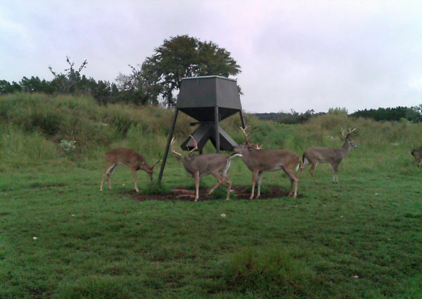 Bucks at Feeder on Texas Whitetail Ranch near San Antonio