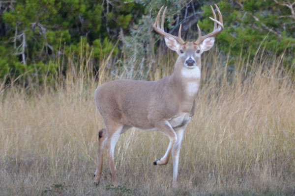 Trophy Whitetail Buck Hunts in Texas