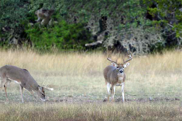 Whitetail Buck Hunts in South Texas