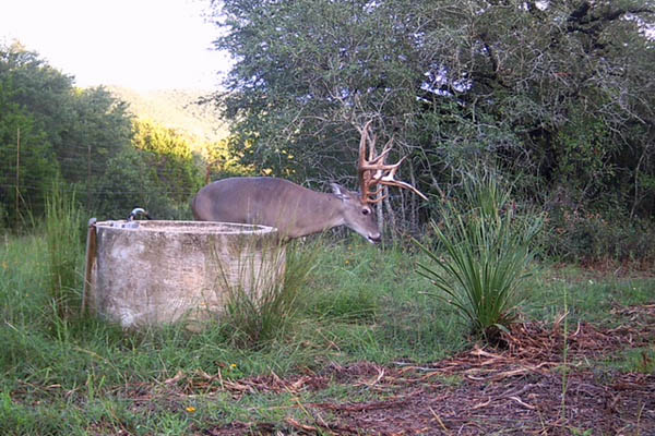 Big Whitetail Buck at the Ranch in Pipe Creek Texas