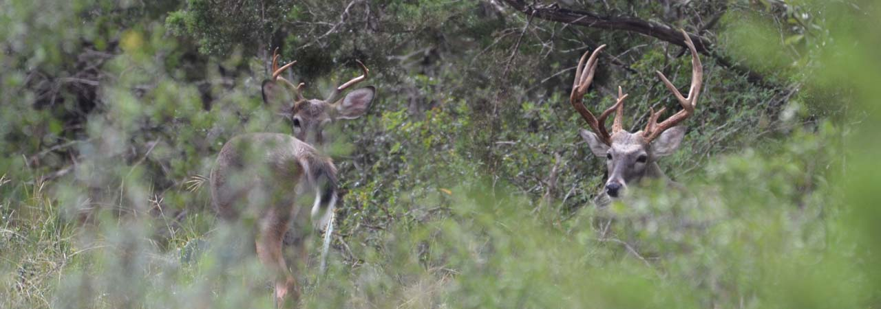 Hill Country Whitetail Deer Hunts
