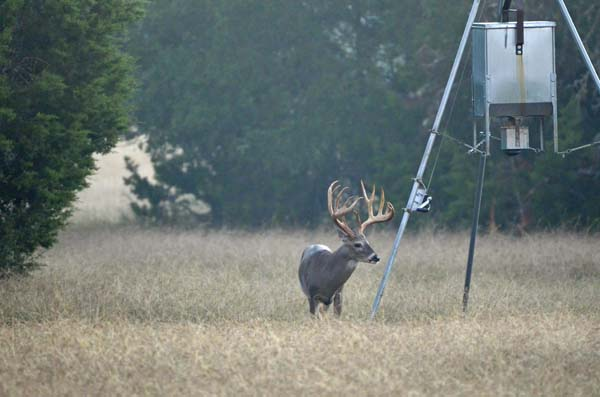 Lone whitetail Buck with Huge Antlers