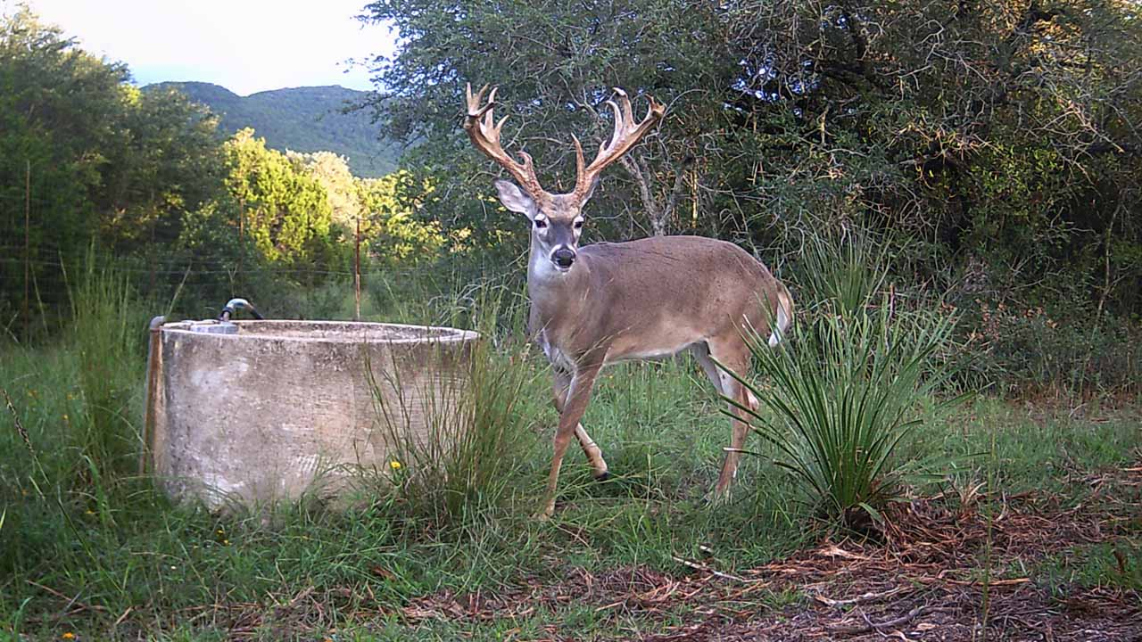 South Texas Trophy Whitetail Deer at Rancho Madrono