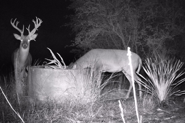 Whitetails at Night on Game Cam