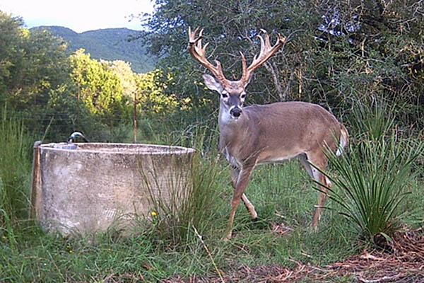 Whitetail Buck at Rancho Madrono, a Texas Hunting Ranch