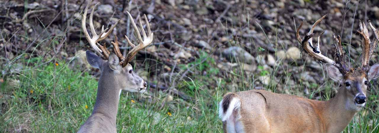 Two Trophy Whitetail Bucks at Rancho Madrono, a Texas Hunting Ranch