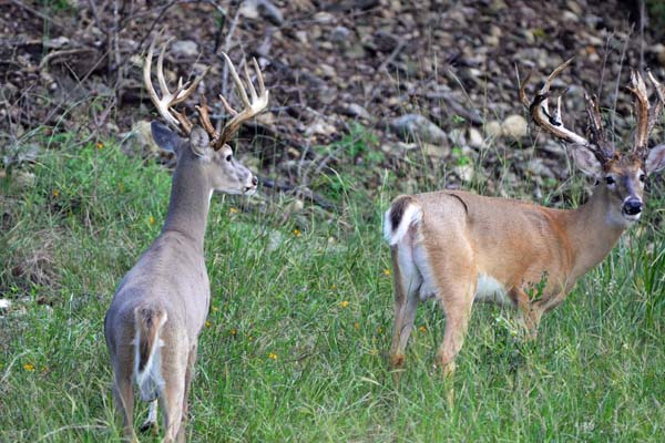 Trophy Bucks with Shedding Velvet at Texas Hunting Ranch