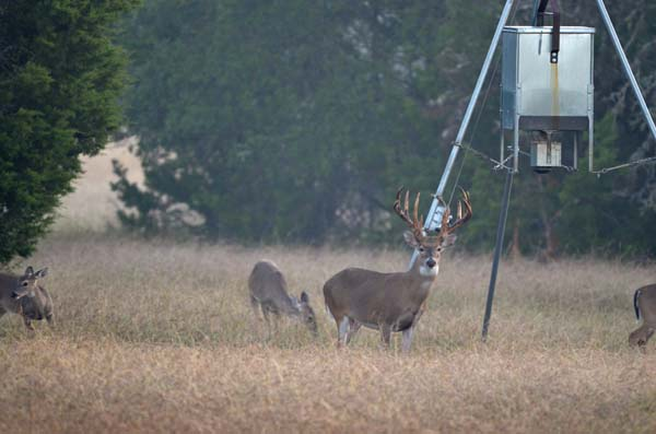 Whitetail Buck with Does on Texas Hunting Ranch