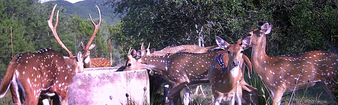 Axis Deer Drinking at Old Well