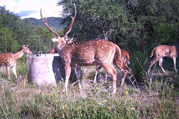 Axis Deer Hunts in Texas Hill Country at Rancho Madrono