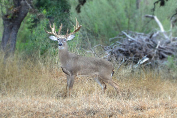 Large Buck on Texas Hunting Ranch in Hill Country near San Antonio
