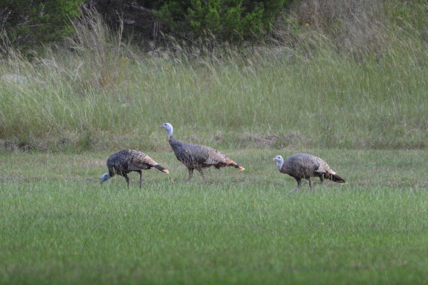 Young Rio Grand Turkeys in Texas Hill Country