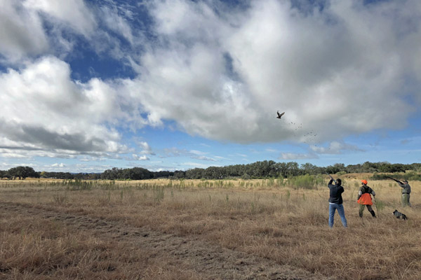 Shooting Pheasant at Rancho Madrono