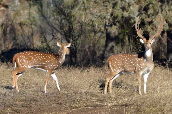 Texas Axis Deer Hunts