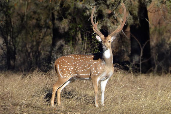 Axis Buck in Velvet at Texas Hunting Ranch Rancho Madrono