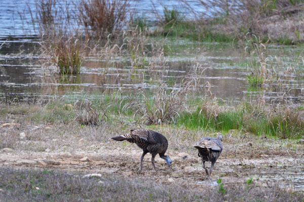 Tom Turkey at Turkey Hunting Ranch in Texas