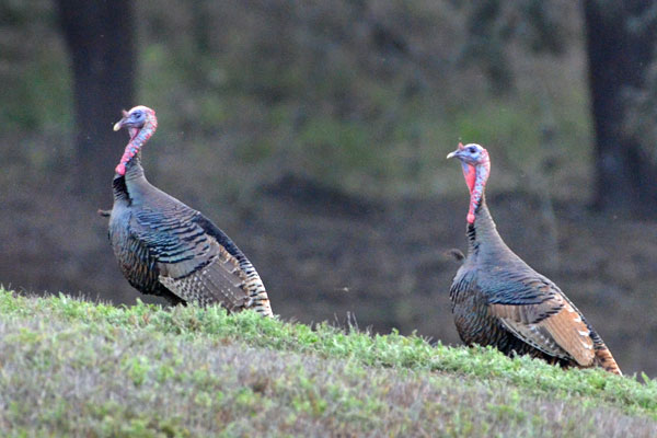 Wild Rio Grande Turkey Hunts in Texas at Rancho Madrono