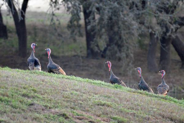 Wild Turkey Hunts at Rancho Madrono in Pipe Creek Texas