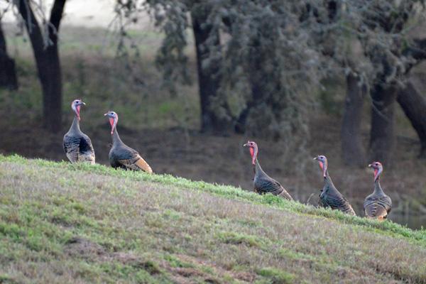 Wild Turkey Hunts at Rancho Madrono in Pipe Creek Texas