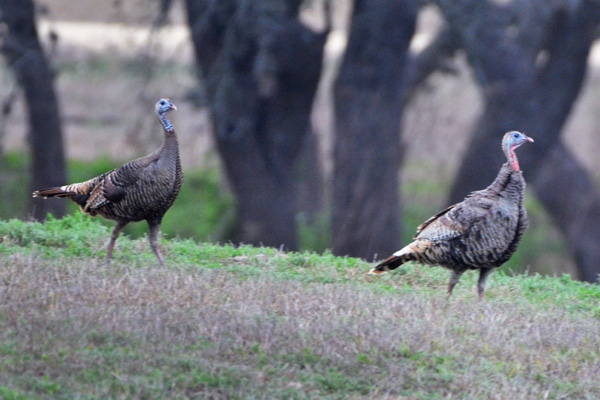 Wild Turkey Hunts in Texas Hill Country