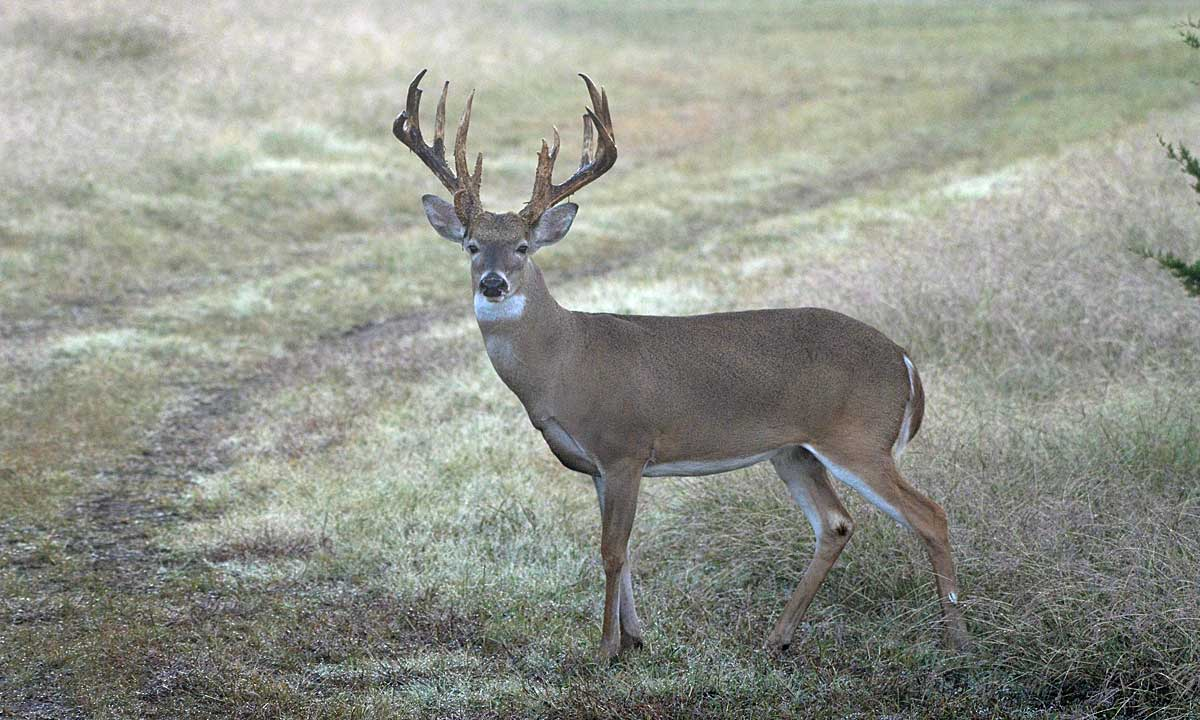 Whitetail Buck at a Texas Hill Country Hunting Ranch