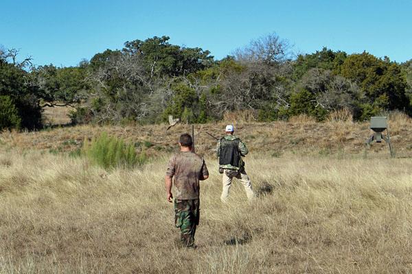 Pheasnt flushing on a texas hunting ranch near San Antonio