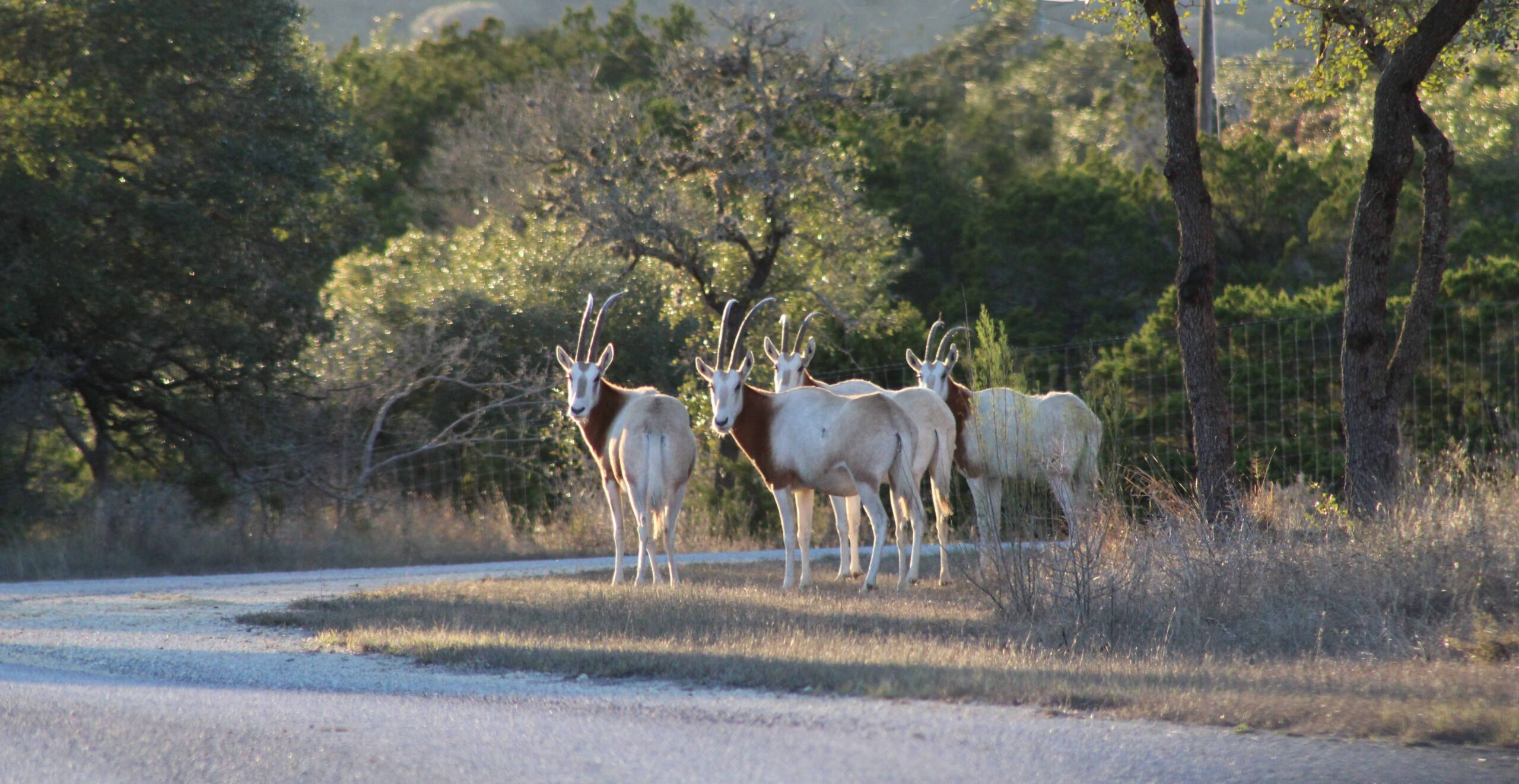 Exotic Hunts at Texas Hunting Ranch Oryx