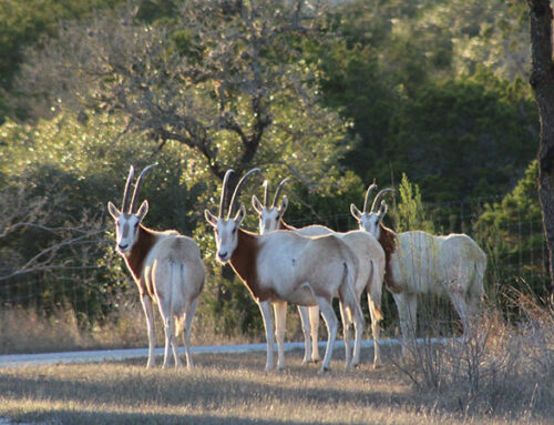 Exotic Hunts Near San Antonio TX