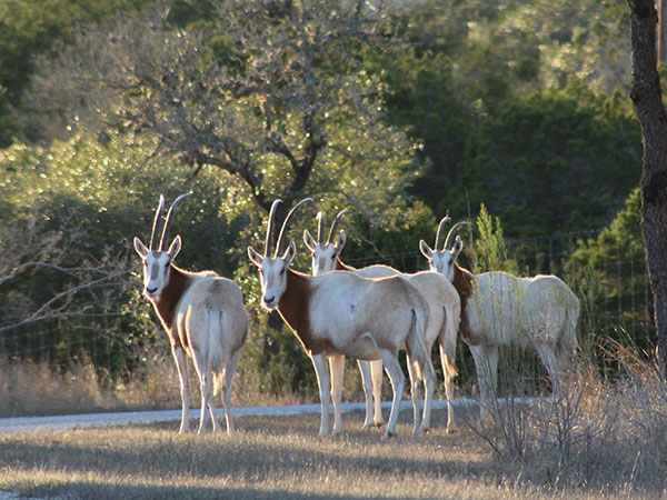 Exotic Hunts in Texas Oryx