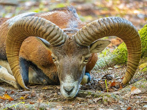 Hunt mouflon sheep in Texas at Rancho Madrono