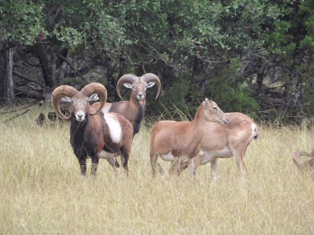 Mouflon Ram hunts in Texas